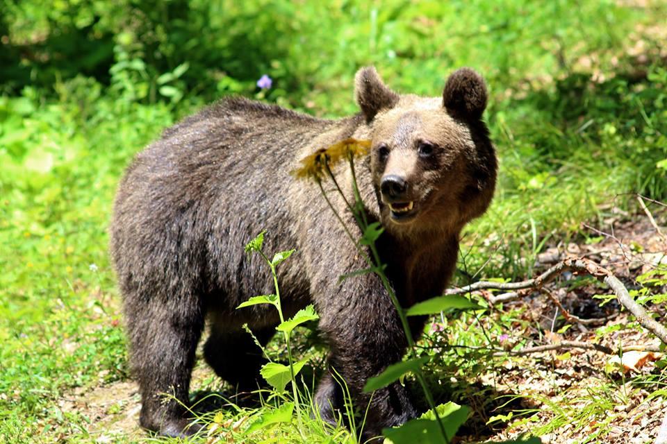 Kárpátokban sok barna medve él!