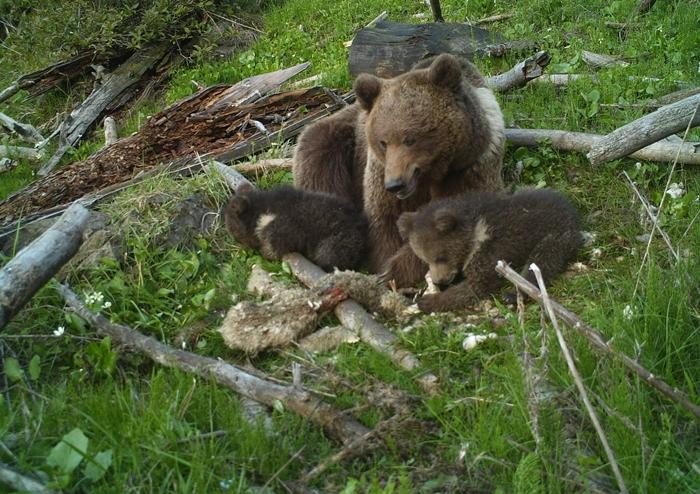 juhot lakmározik a medvecsalád