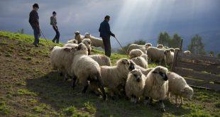Nehéz a dolga a juhászoknak Székelyföldön az elszaporodott medvék miatt