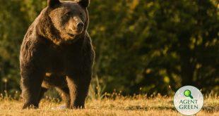 Európa legnagyobb medvéje volt Arthúr
