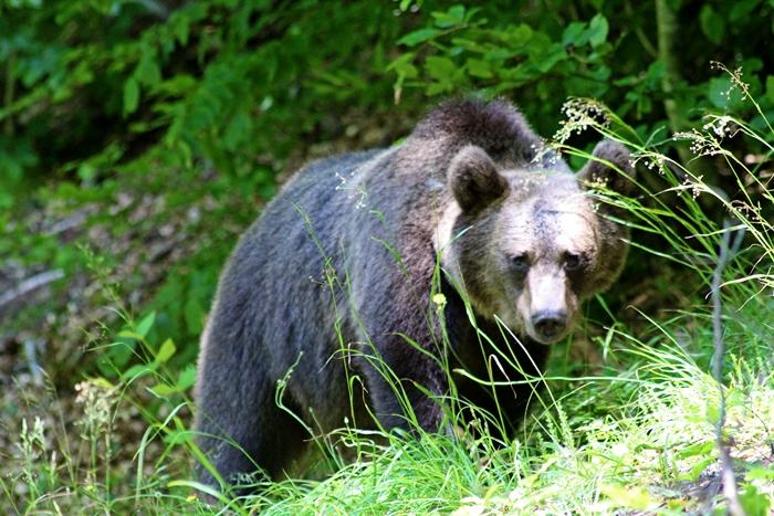 Sok medvét lehet látni a Szent Anna tó környékén is.