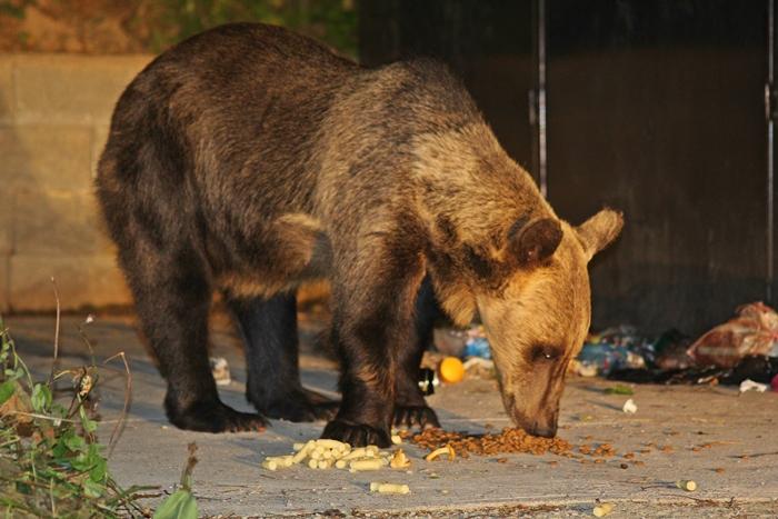 Kukázó medve a Tusnádfürdői vasútállomáson