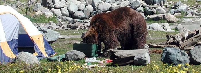 Vigyázat, a barnamedvéknek jó az orruk!